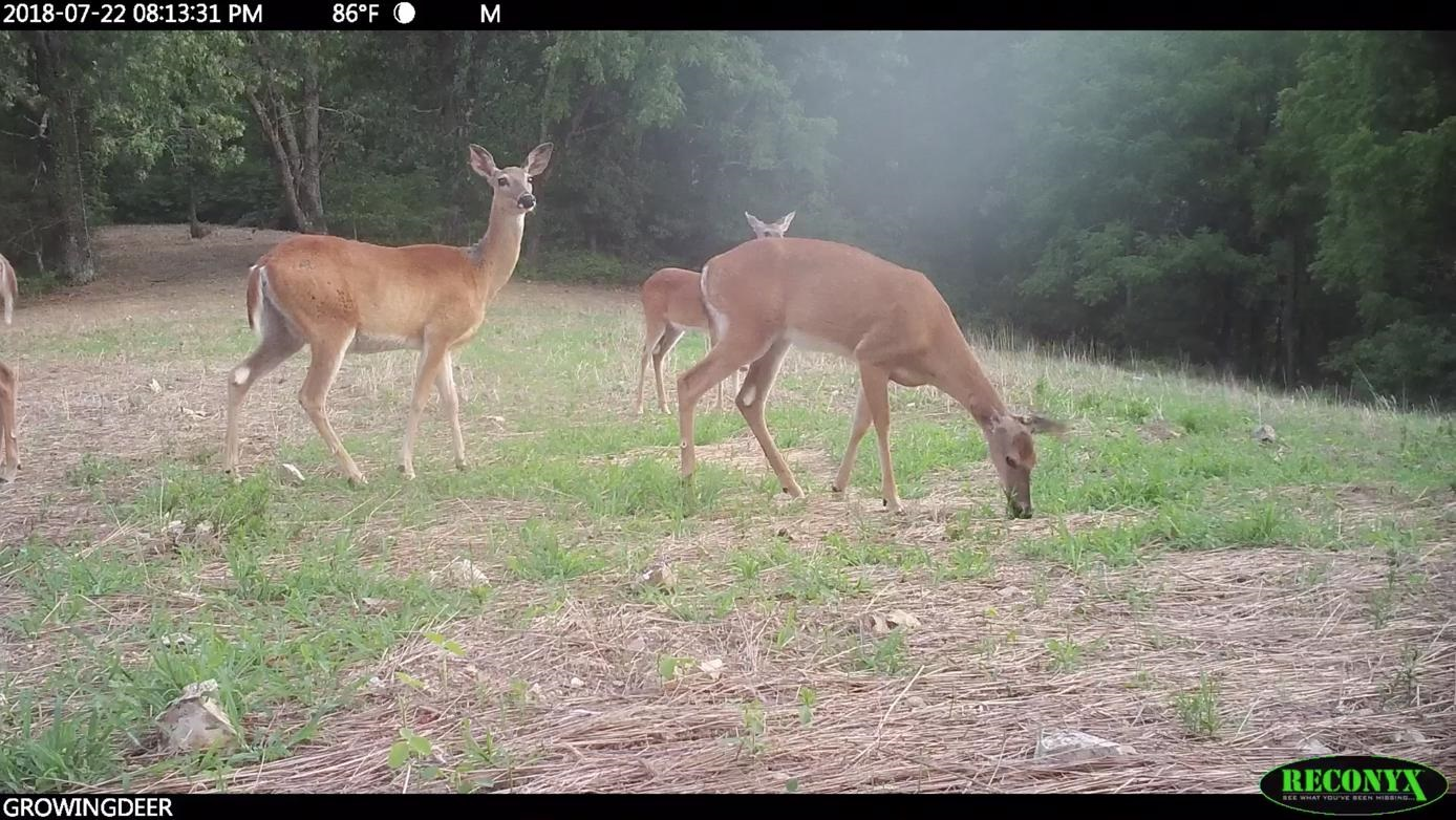 deer in an overbrowsed food plot