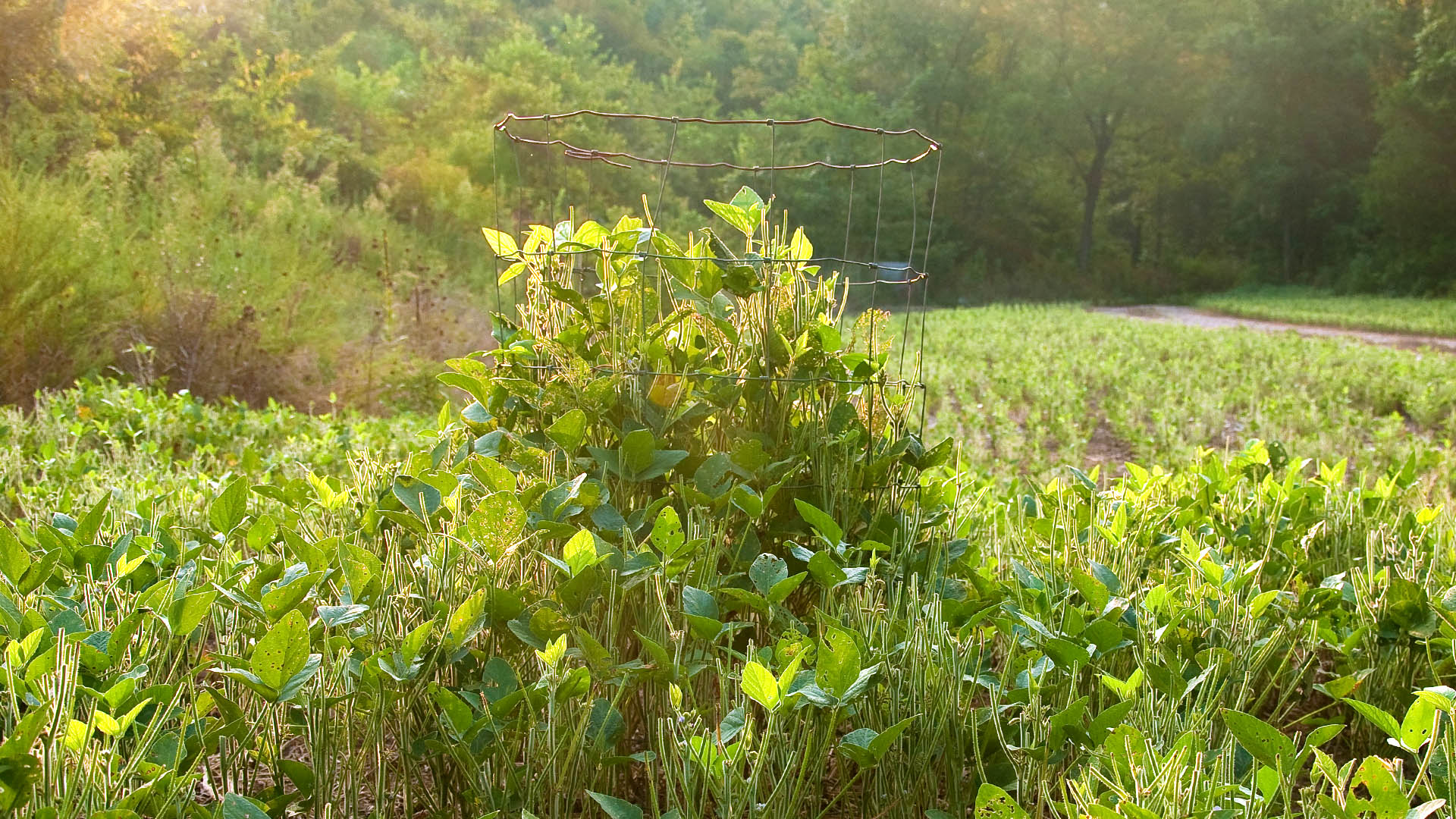 utilization cage shows deer browse in soybean field