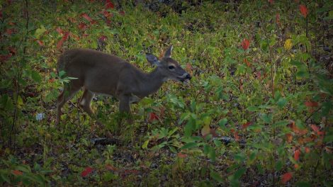 Doe Eating Acorns In Bow Range