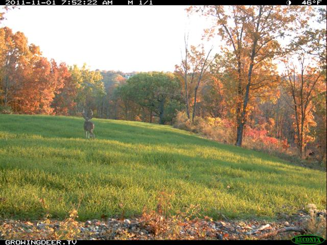 Reconyx Trail Camera Image of Big Whitetail buck in a Wheat Food Plot with Fall foliage