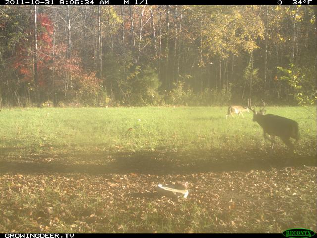 Mature buck chases a doe