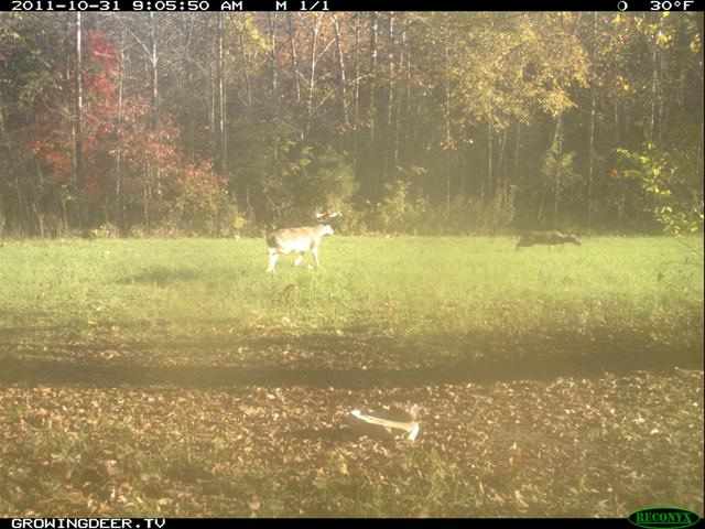 Reconyx Trail Camera image of a mature buck chasing a doe during daylight morning hours