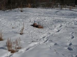 Whitetail Deer tracks in snow near a Trophy Rock