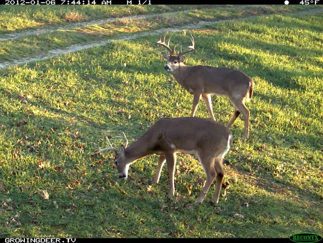 Two mature bucks during daylight hours.