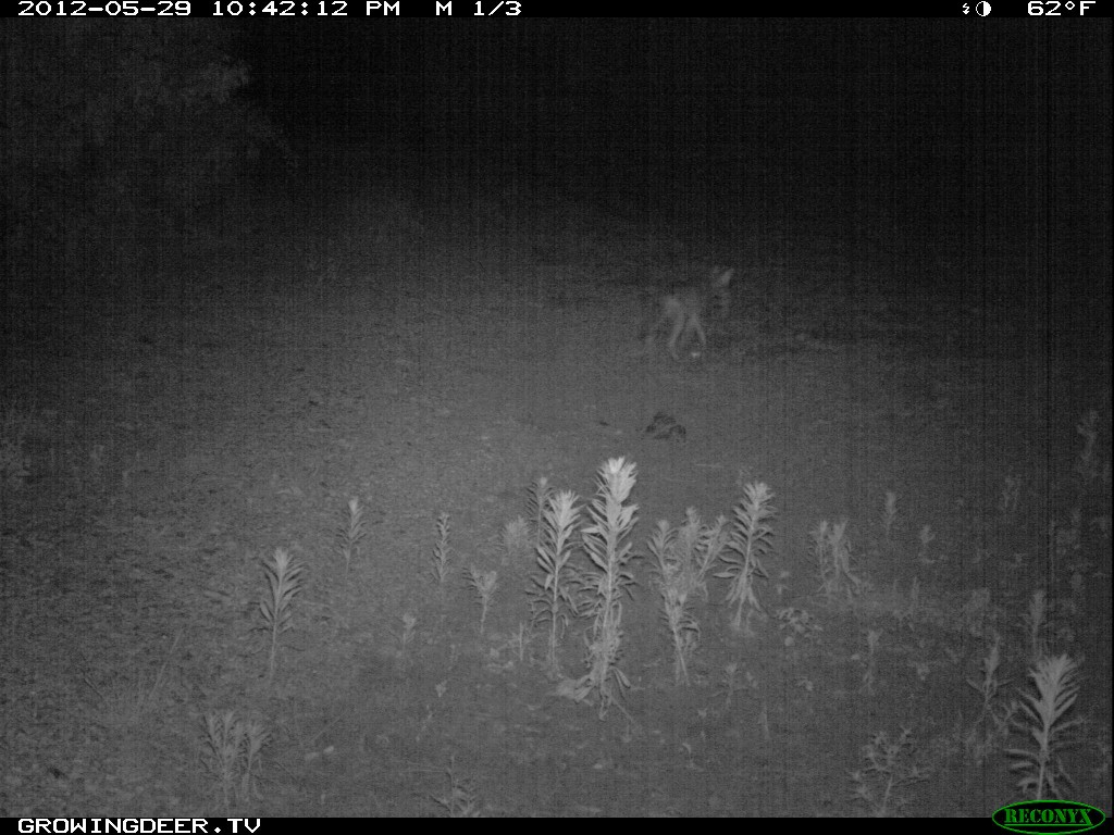 Coyote carrying prey off at night