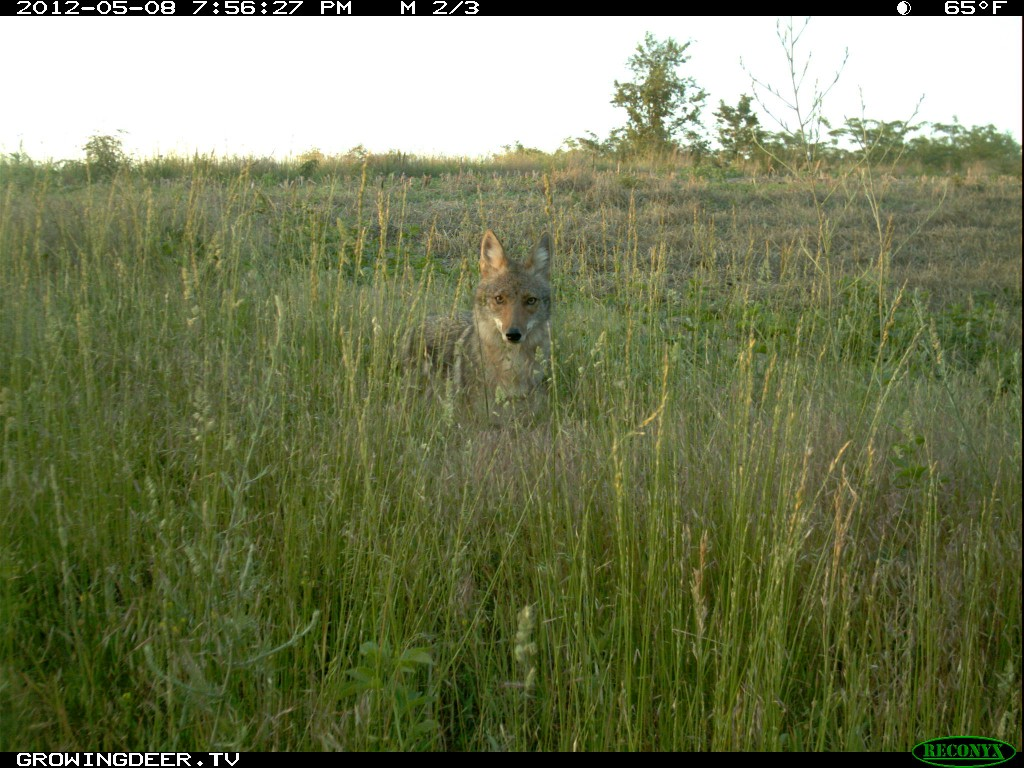 Coyote in field during daylight