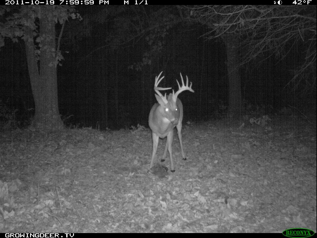 Mature Whitetail Buck with split brow antlers
