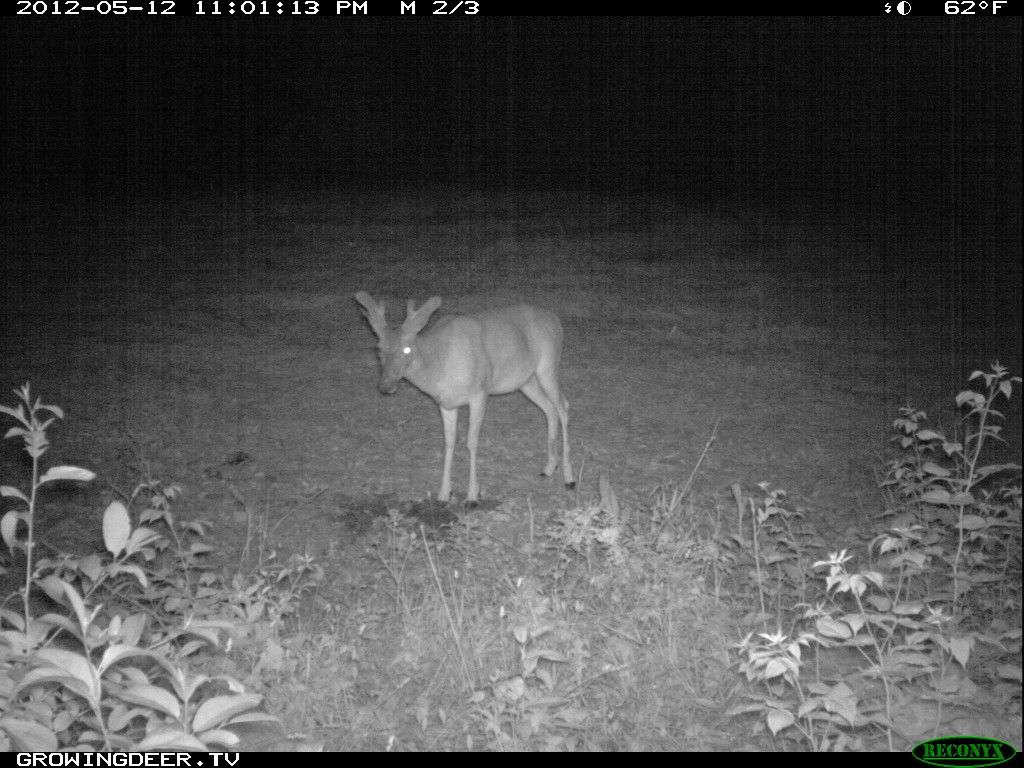 "New Trail Camera Photo of Whitetail Buck ""Split Brow"" Spring 2012"