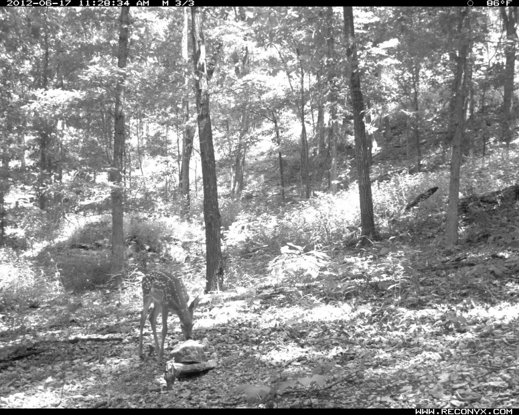 Fawn licking a Trophy Rock in late morning