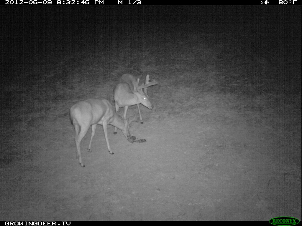 Two bucks use a Trophy Rock during drought conditions