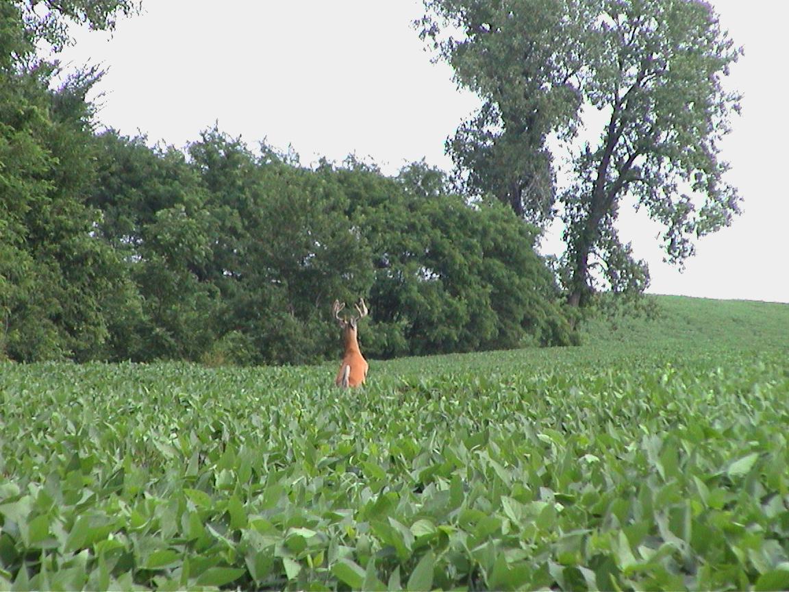 Velvet buck standing in Missouri food plot