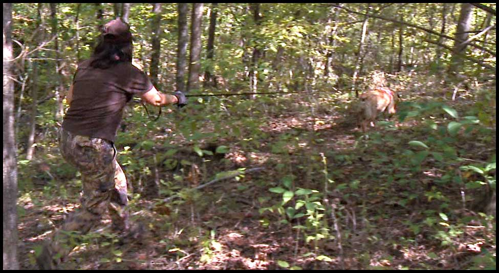 Crystal, a yellow labrador retriever, scent trailing a white-tailed doe shot early during bow season.