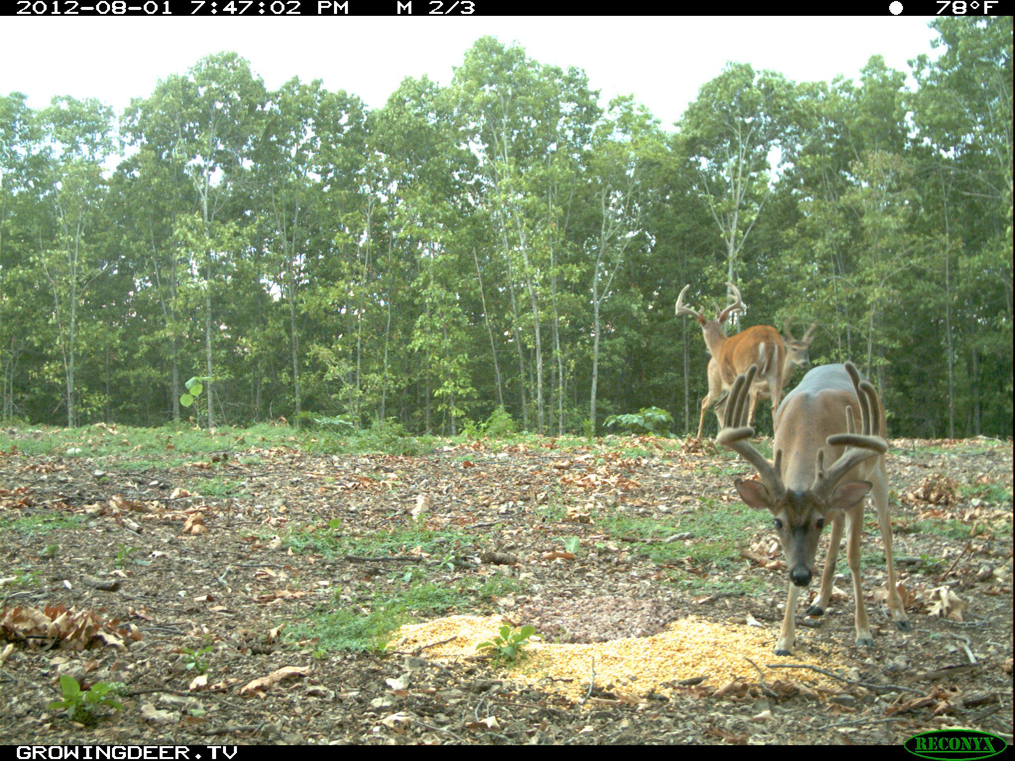"Mature White-tailed Buck known as ""Split Brow"" at a camera survey station August 2012"