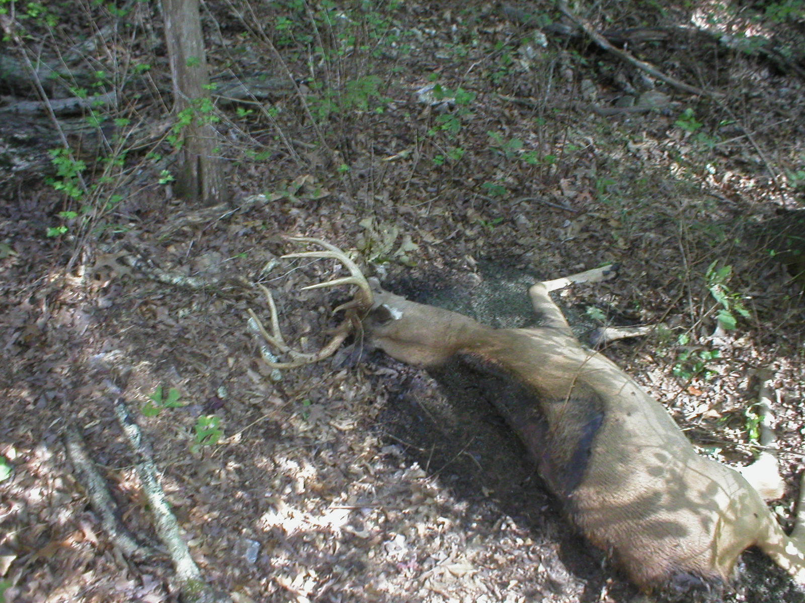Dead Whitetail Buck found near a water source. Likely cause of this buck's death