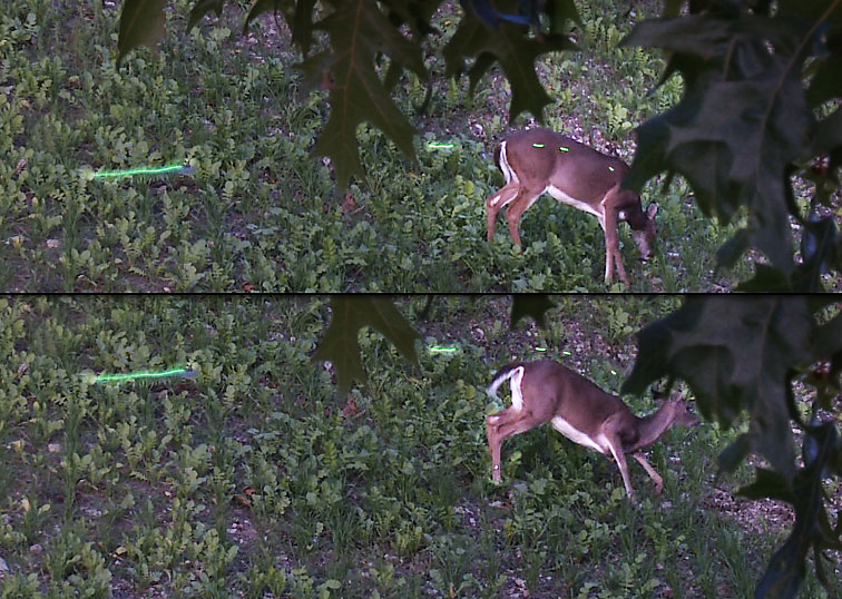 A whitetail Doe in a food plot ducks a 31 yard bow shot