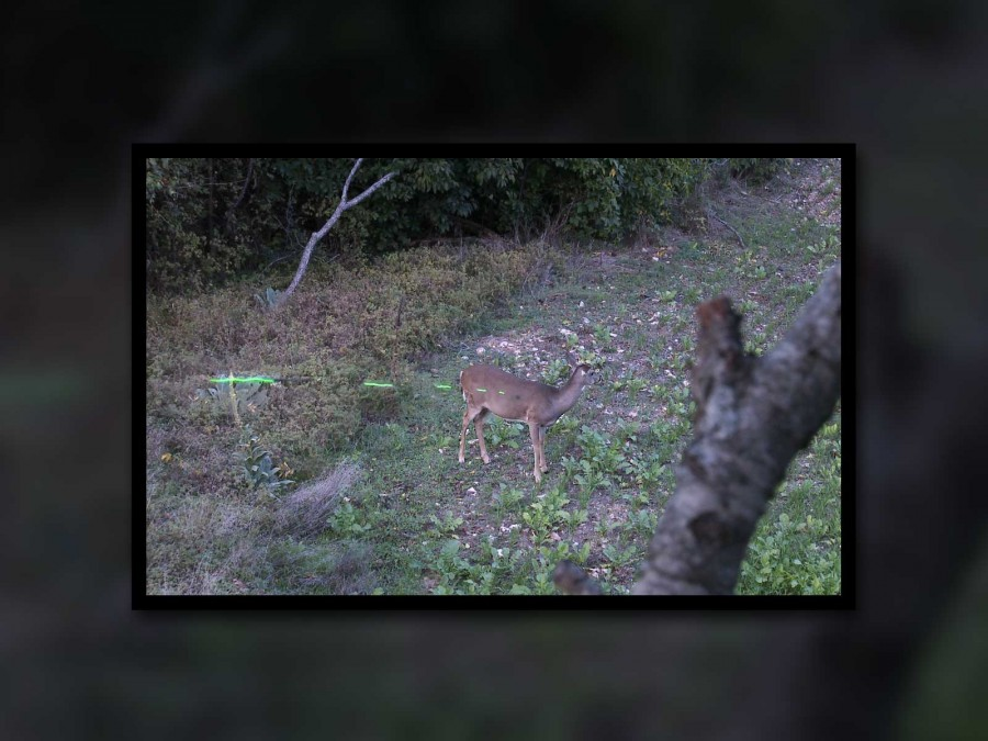 This white-tailed doe offered a 22 yard broadside bow shot
