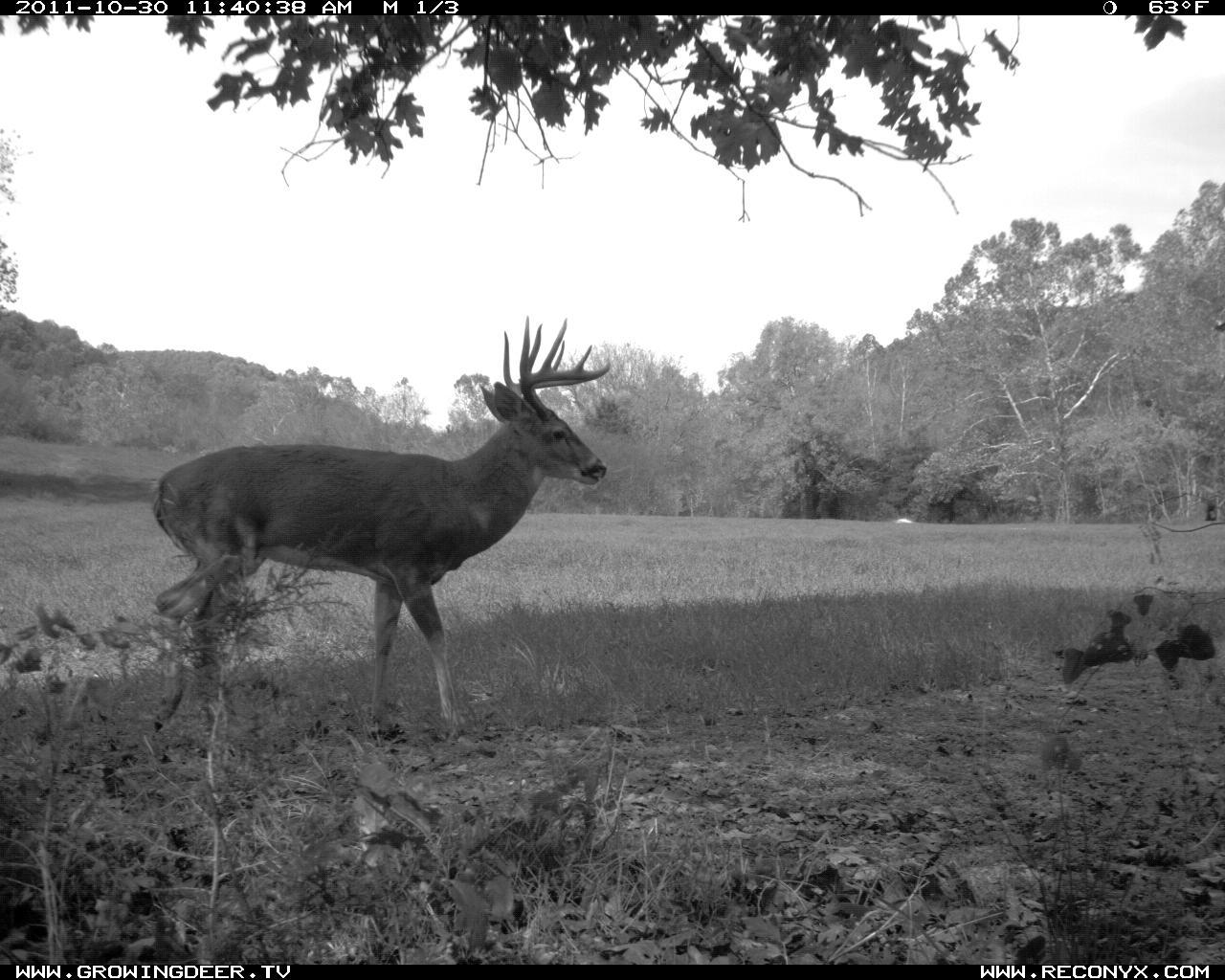 A mature buck walks past a trail camera