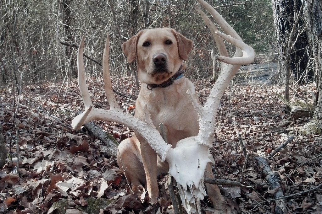 Yellow Labrador Retirever with  a big set of whitetail buck antlers on the skull