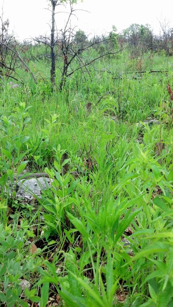 Native vegetation growth after summer burn