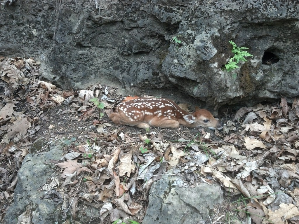 Newly born fawn under an rock bluff in the Ozarks