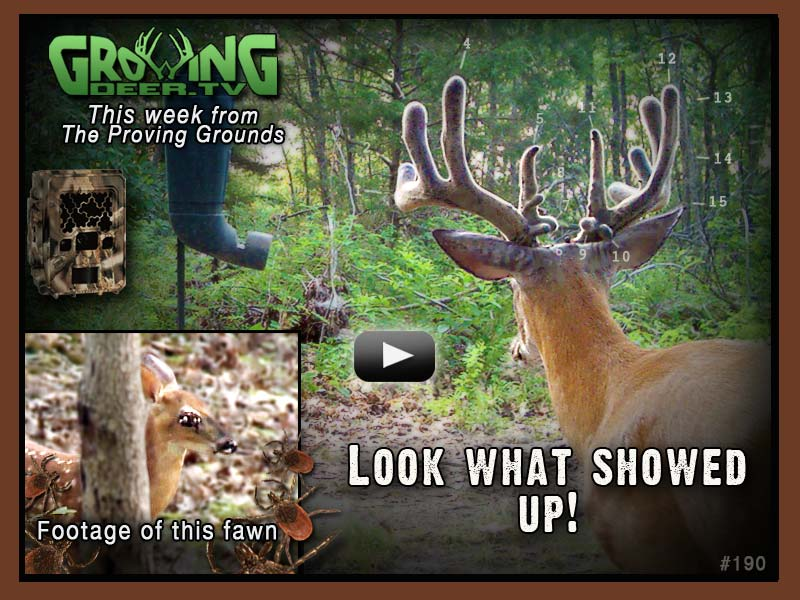 A new buck shows himself at a trail camera station in GrowingDeer.tv episode #190.