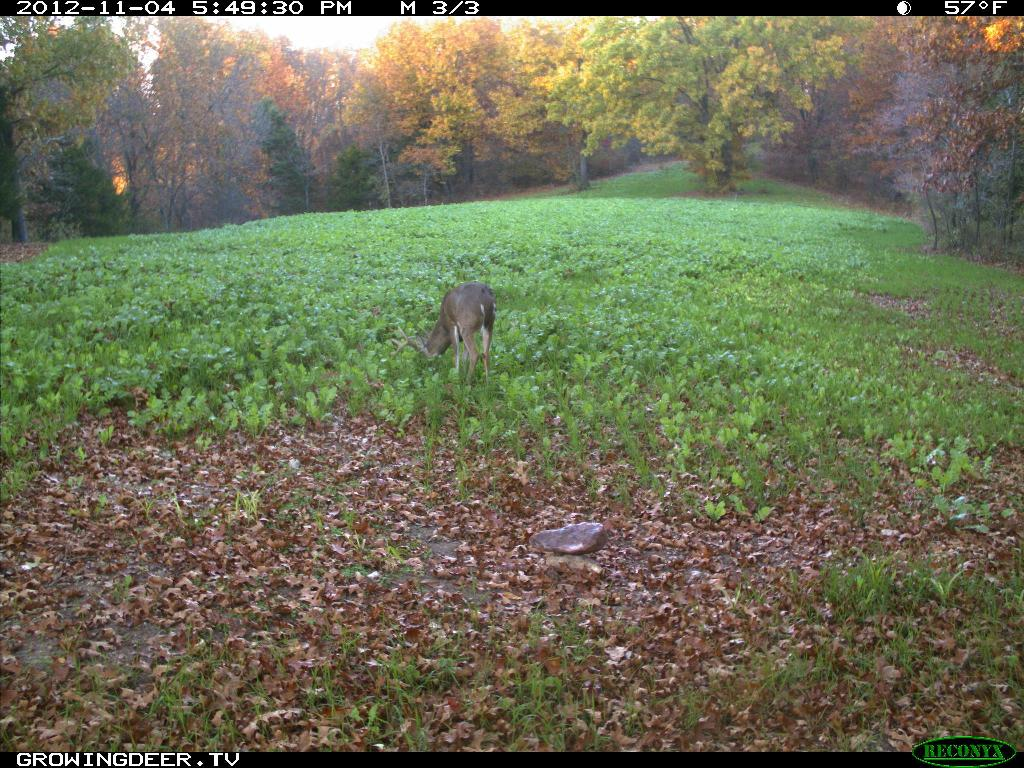 Buck in a food plot planted with Eagle Seed Broadside