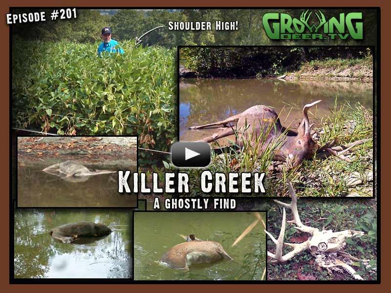 In episode #201 at www.GrowingDeer.tv a dead buck is found in the creek.