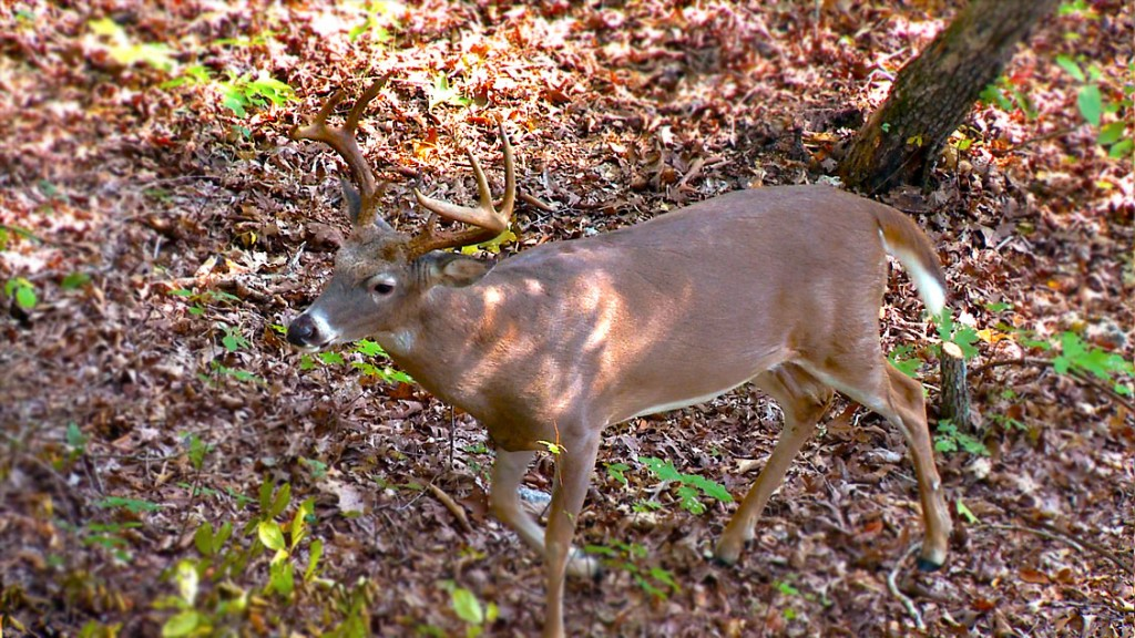 A buck is spotted in late October during bow season