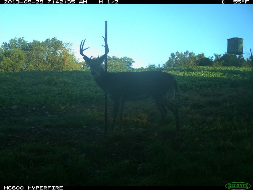 This is a great example of a 3 1/2 year old buck.
