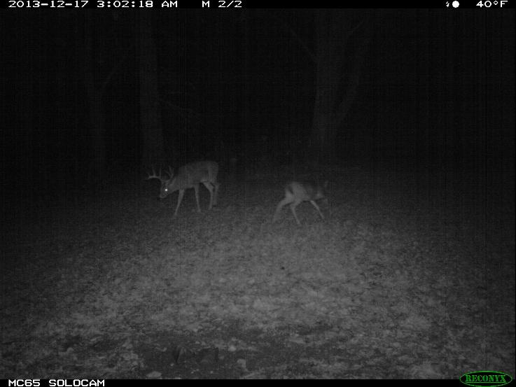 "Hit list buck ""Funky"" caught on the Reconyx camera nudging a doe fawn."
