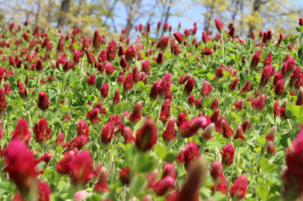 Crimson clover plot