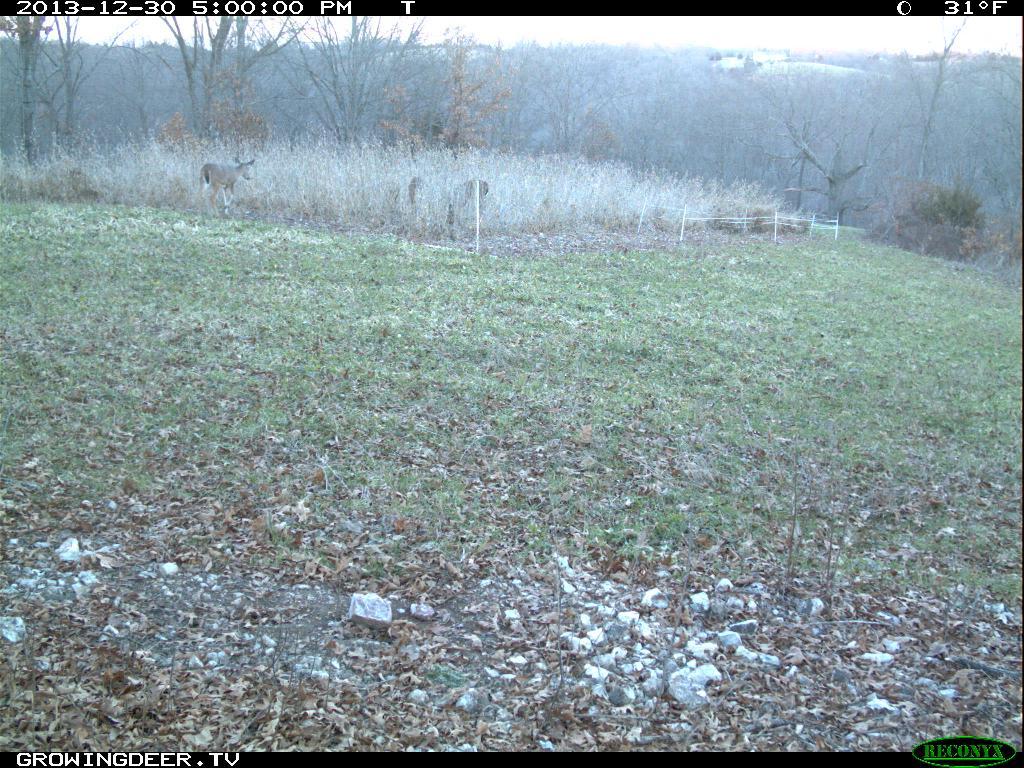 Deer entering a field through a fence gap
