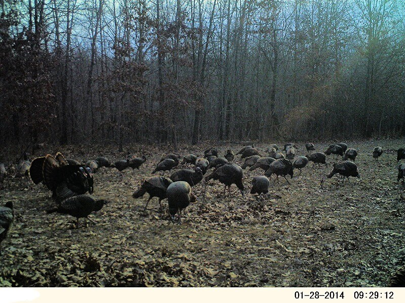 A large flock of wild turkeys in a field with three toms strutting
