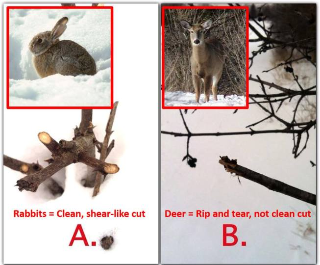 Difference between deer browse and rabbit browse