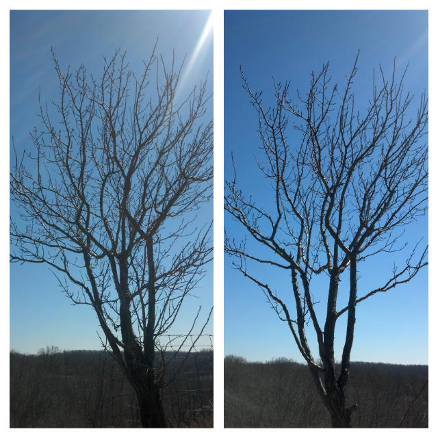 A fruit tree before and after pruning.