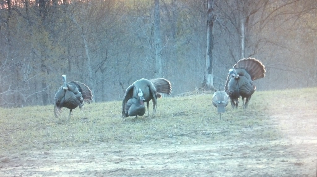 three long beards checking out our decoys.