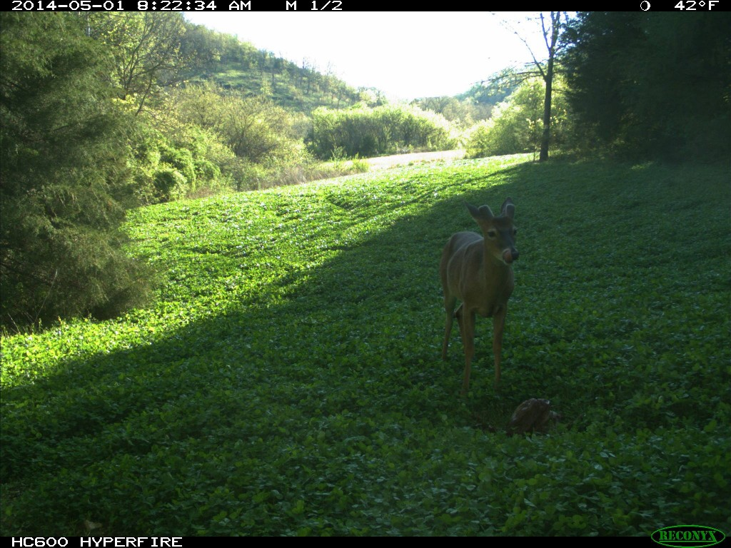 Buck with new about three inches of antler growth at a Trophy Rock station.
