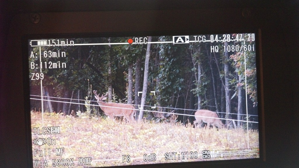 A velvet buck stands outside a hot zone fence eating soybeans