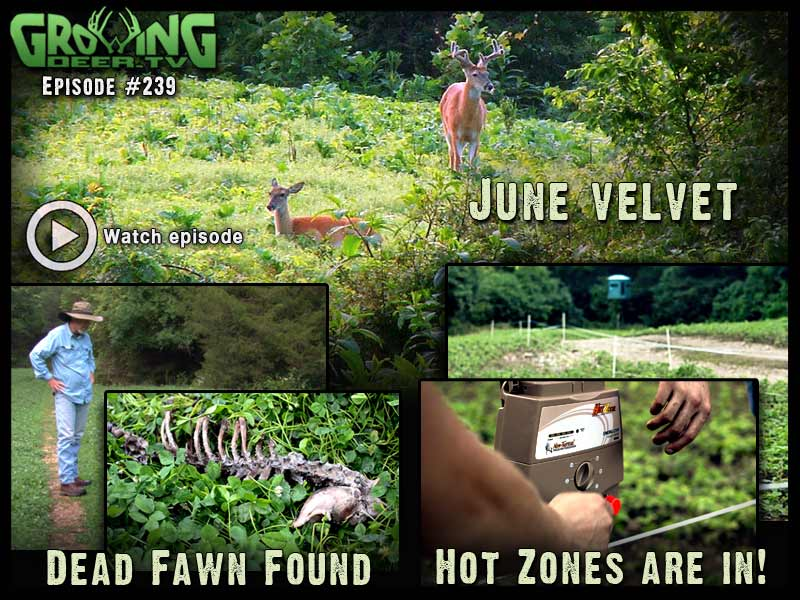 See antlers in June velvet in GrowingDeer.tv episode #239.
