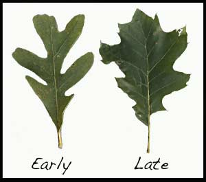 White oak leaf and red oak leaf