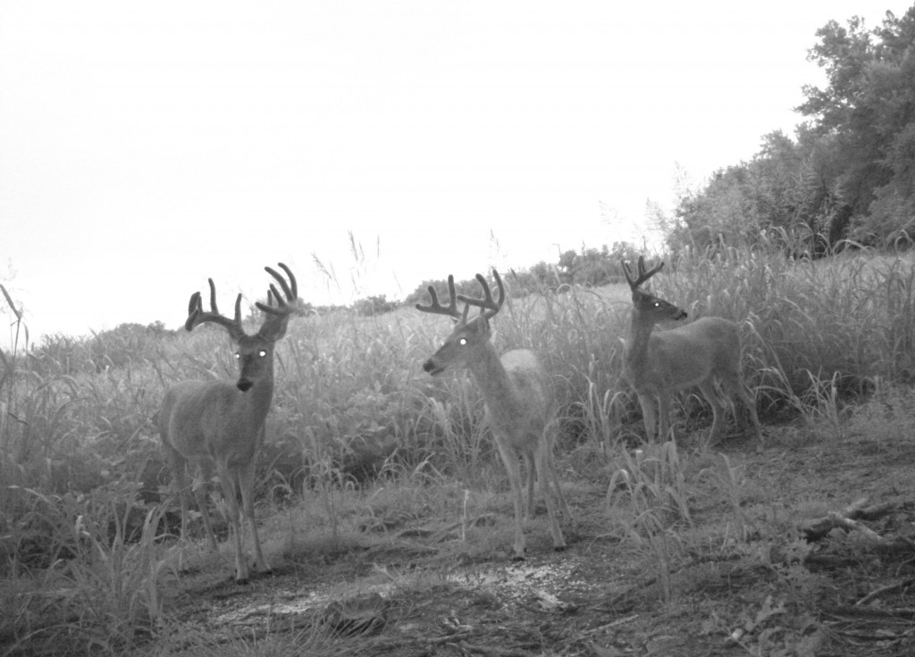 Three bucks at a camera survey station