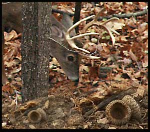 Buck eating acorns