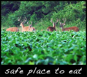 Mature bucks feeding in a food plot.