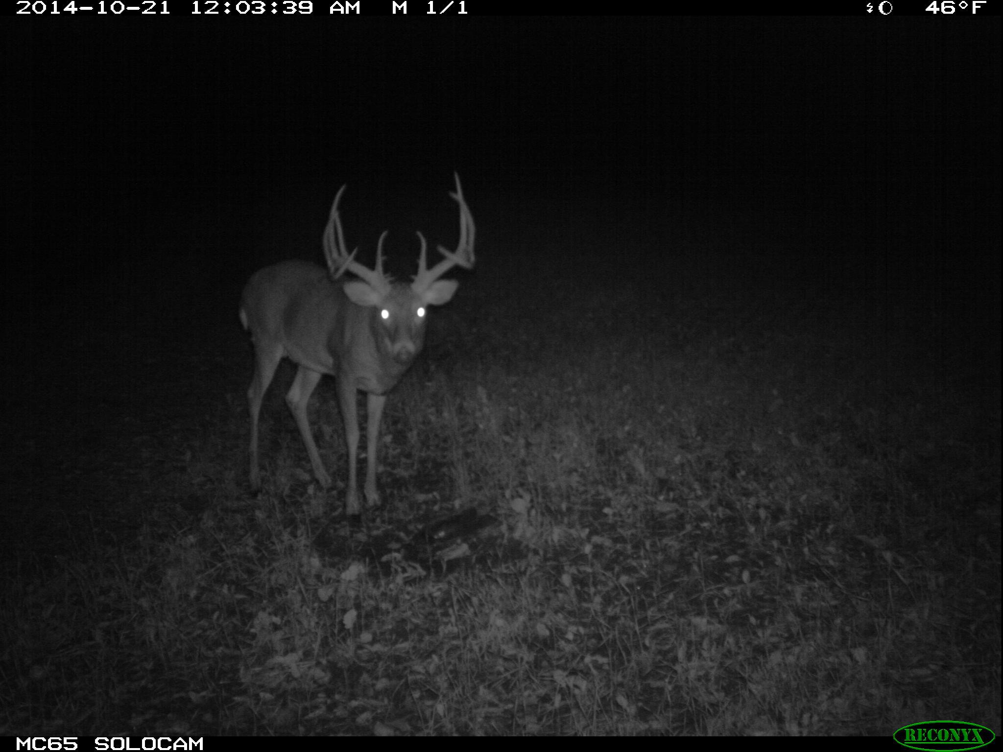 Royal George is a big, ten-point hit list buck.