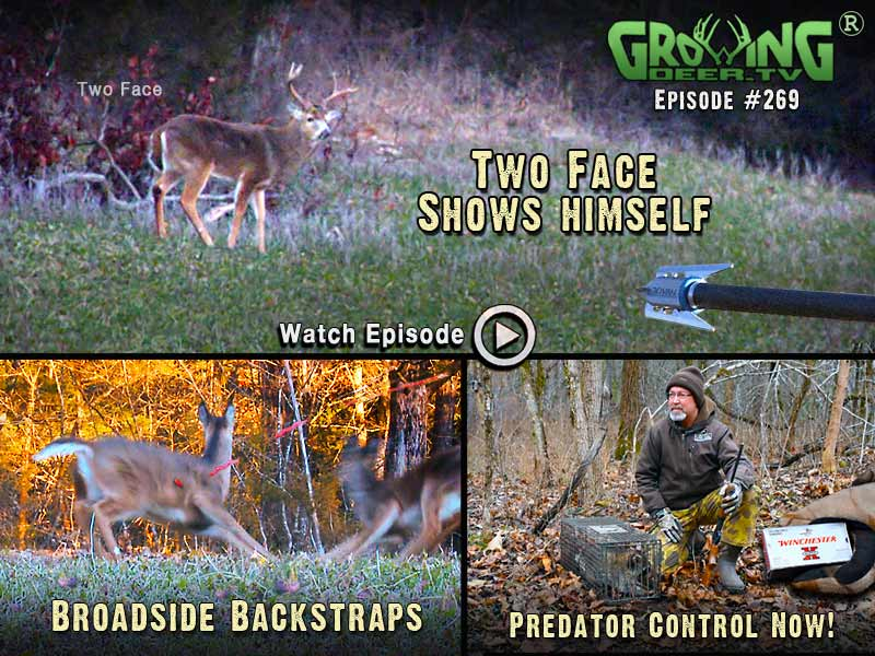 Two Face, a hit list buck, shows himself in GrowingDeer.tv episode #269.