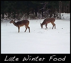 With snow on the ground deer will browse on food sources above snow level or dig through the snow for food.