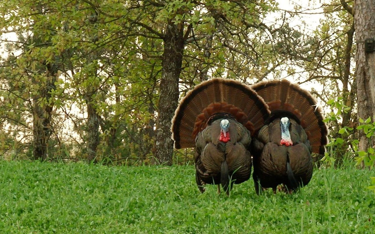 Turkeys in clover