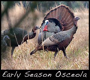Early season Osceola turkey.