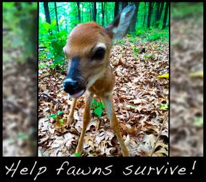 A new born fawn