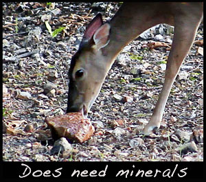 A doe licks a Trophy Rock.